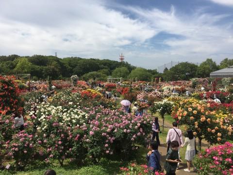 京成バラ園1
